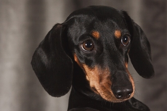 dog-1232449_640
